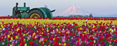 The Tulip Festival - Courtesy of The Wooden Shoe Tulip Farm